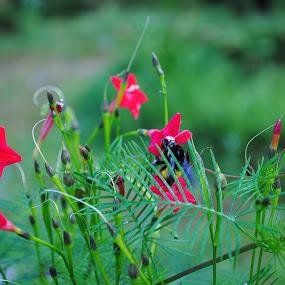 Flowers by Pramesh Pokharel - Nature Up Close Flowers - 2011-2013 ( red, bee, cute, garden, flower,  )