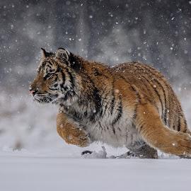 Hunting near or far by Jiri Cetkovsky - Animals Lions, Tigers & Big Cats ( winter, tiger, snow, ussurian, hunting )