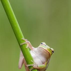 by Giorgio Baruffi - Animals Amphibians ( hyla arborea, macro, castenedolo, rane )