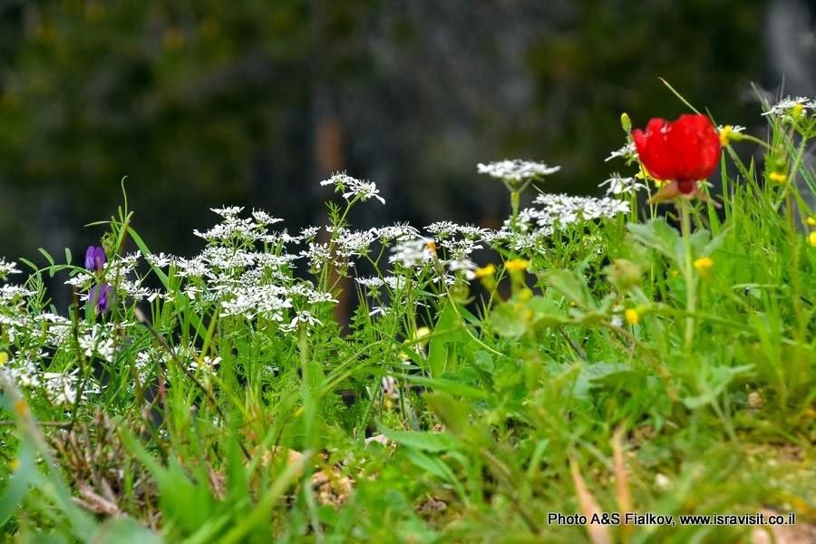Цветы Израиля. Скандикс весенний - Scandix verna.