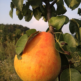 Delicious by Alina Vicu - Instagram & Mobile Android ( food, fruits, trees, delicious, pear,  )