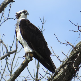 Osprey by Mona Marie Hess - Novices Only Wildlife