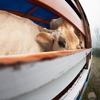 immagine di un bovino su un camion