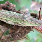 Grasshopper (infected?)