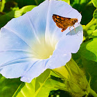Dart butterfly