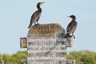 Photo: Neotropic Cormorant (Olivenscharbe); Rio Lagartos, YUC