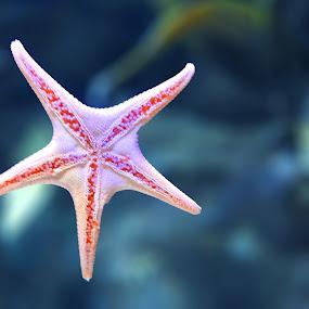 Star  of sea by Ana Paula Filipe - Animals Sea Creatures ( star, starfish, water, close, sea )