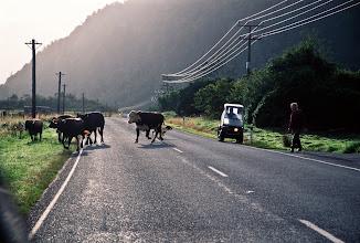 Photo: Herding Cows