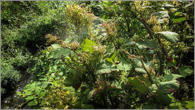 Photo: Iulişca (Fallopia japonica sau Polygonum: Cuspidatum, Polystach) - pe malul Paraului Racilor in zona puntii de pe Str. Albinei - 2017.09.06