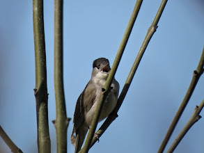 Photo: Trench Middle Pool Always looking to upgrade images: a better singing male Blackcap. (Ed Wilson)