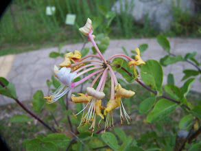 Photo: Lonicera etrusca