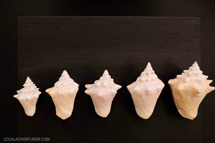 Sea Conch Life 6 Months through Two Years.