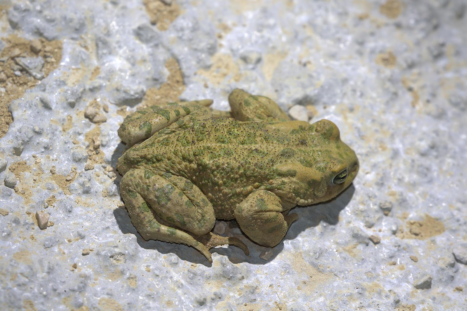 European green toad_rsz.jpg