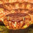 Bornean Leaf-nosed Pit-viper