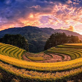 Rice fields on terraced with pine tree at sunset in Mu Cang Chai by Nuttawut Uttamaharach - Landscapes Prairies, Meadows & Fields ( rough, pine, curve, sapa, soil, agriculture, horticulture, bali, mountain, yenbai, pavilion, thailand, farm, land, terrace, grows, chai, green, nature, asia, asian, indochina, mu, terraced, vietnam, leaf, rice, food, environment, field, earth, plant, sunset, cang, valley, river, mu cang chai, travel, landscape )
