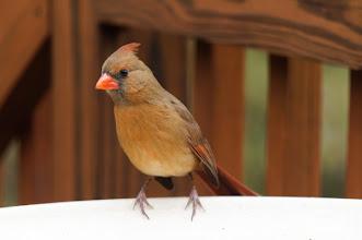 Photo: Day 16-Female Northern Cardinal