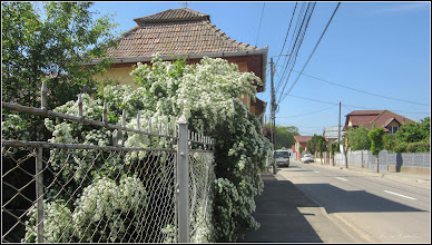 Photo: Cununița, Floara miresei (Spirea) - de pe Str. Tunel - 2018.04.29