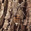 Cigale /Cicada