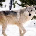 Gray Wolf Wallpaper Images icon