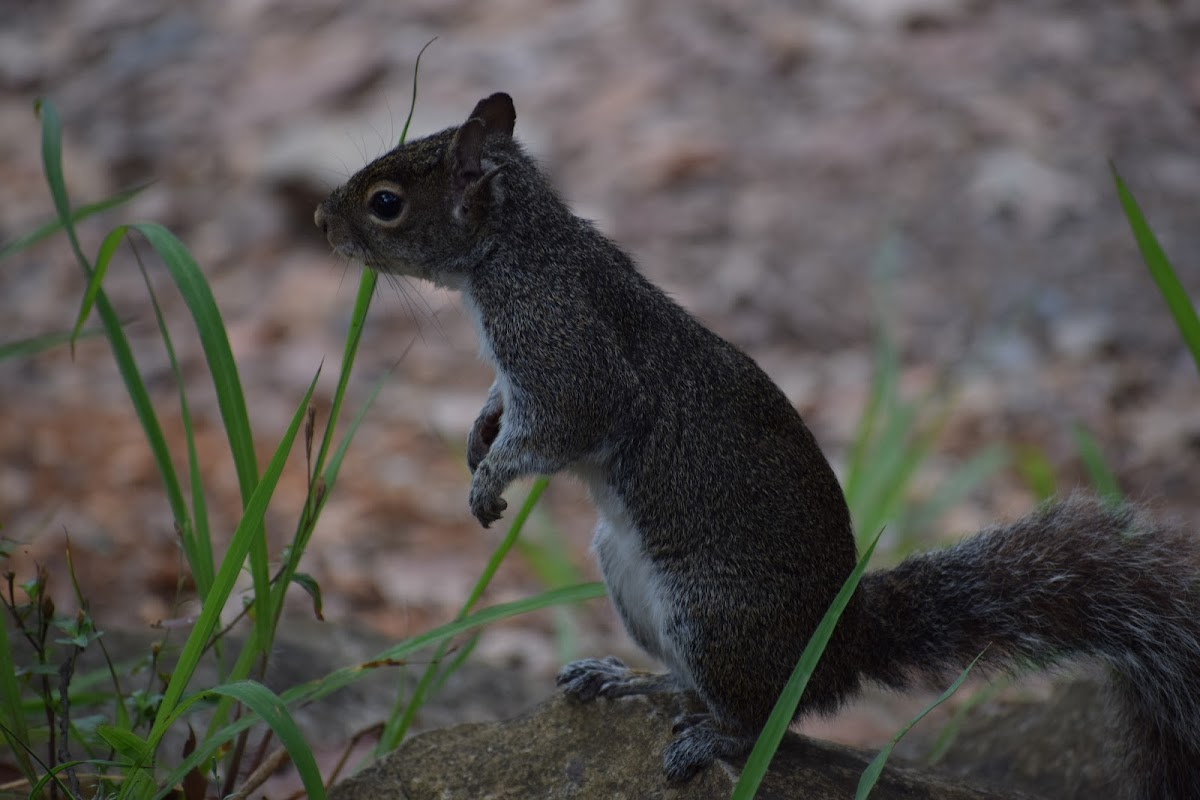 Allen's Squirrel