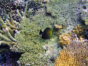 Photo: Zebrasoma scopas (Scopas Tang), Naigani Island, Fiji