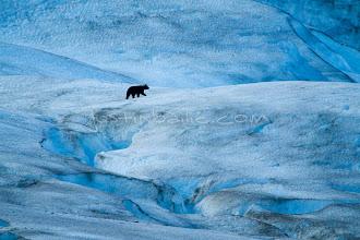 Photo: Black Bear wandering around glacier in Glacier Bay National Park, AK.