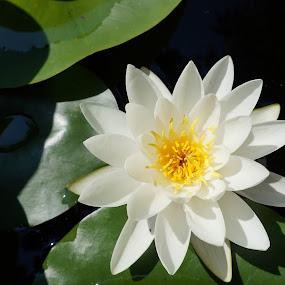by Tadeia Fedor - Flowers Single Flower (  )