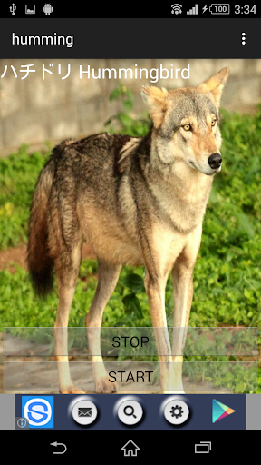 動物鳴き声オオカミ