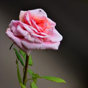 Pretty In Pink by Chandal Chenier - Flowers Flower Gardens ( pink, rose, arboretum, grey )