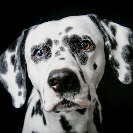 Bono Dalmation by April Johnson - Animals - Dogs Portraits ( pet portrait, pet photography, dalmation, dog portraits, dog )