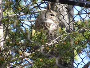 Photo: Various birds on display. Here, a horned owl