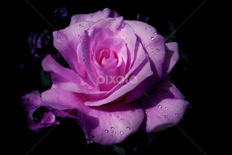 by Ad Spruijt - Flowers Single Flower (  )