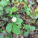 Virginia Strawberry ( Wild Strawberry )