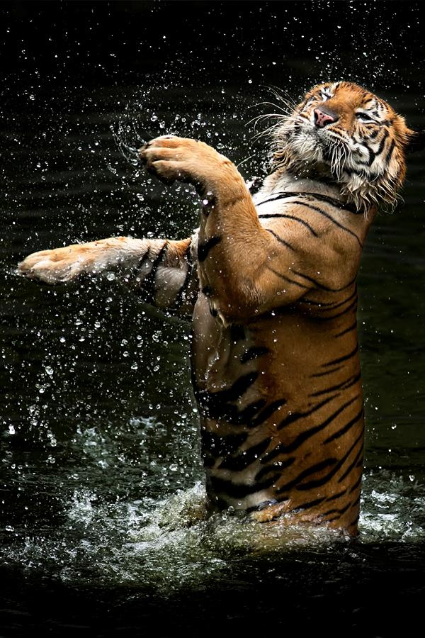 Jump by Toni Panjaitan - Animals Lions, Tigers & Big Cats ( animals, protected, tiger, carnivora, bigcat )