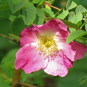 Gallic Rose