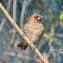 Scaly-breasted Munia / Spotted Munia
