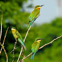 The blue-tailed bee-eater