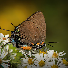 On White by Roy Walter - Animals Insects & Spiders ( wild, butterfly, autumn, fall, insect, animal )