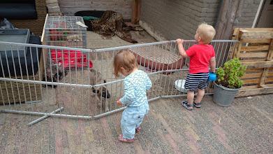 Photo: Vandaag weer een gezellige dag. Ons hok werd schoongemaakt en dat vonden wij heel interessant. Er waren weer kindjes op bezoek en wij zijn in een auto op pad geweest. Twee van ons gingen op bezoek bij oma en twee bij de schaapjes kijken. De andere drie zijn een kort rondje in de auto geweest. Zij zijn de volgende dag aan de beurt voor een bezoekje aan de schaapjes. Zij hebben vanavond om en om in de woonkamer met mama mogen spelen en zijn daar op ontdekkingstocht geweest. Nu liggen wij uitgeteld in ons hok te dromen van alle nieuwe indrukken.