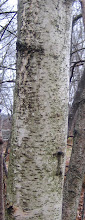Photo: Gray Birch, 11.15