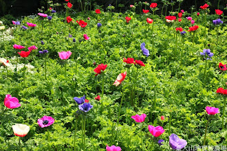 Photo: 拍攝地點: 梅峰-溫帶花卉區 拍攝植物: 白頭翁 拍攝日期: 2014_02_18_FY