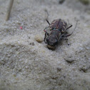 Salt creek tiger beetle?