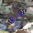 Purplewing