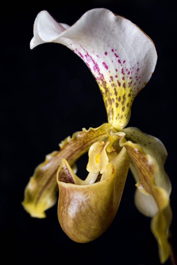 Orchidea di MA