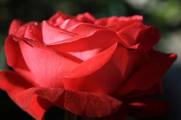 Pccole gocce di rugiada su una rosa di Leonardo la Donna