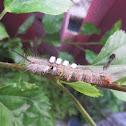 Tussock-moth Caterpillar