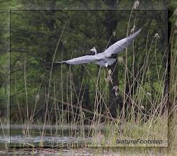Photo: Gråhäger - Ardea cinerea - Grey Heron