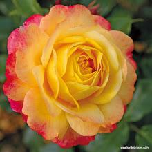 Photo: Beetrose Rose der Hoffnung ®, Züchter: W. Kordes' Söhne 2011
