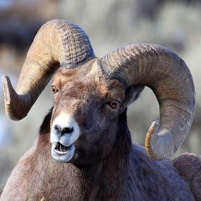 by Brandi Nichols - Animals Other Mammals ( ungulate, ram, montana, yellowstone national park, bighorn ram, bighorn,  )