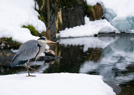 Airone tra i ghiacci svedesi di Pegghy27